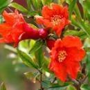 ポメグラナイト[Pomegranate]