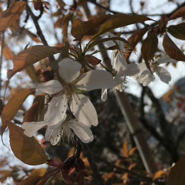 宇宙桜(そらざくら)『カルマのリセット』   和樂フラワーエッセンス