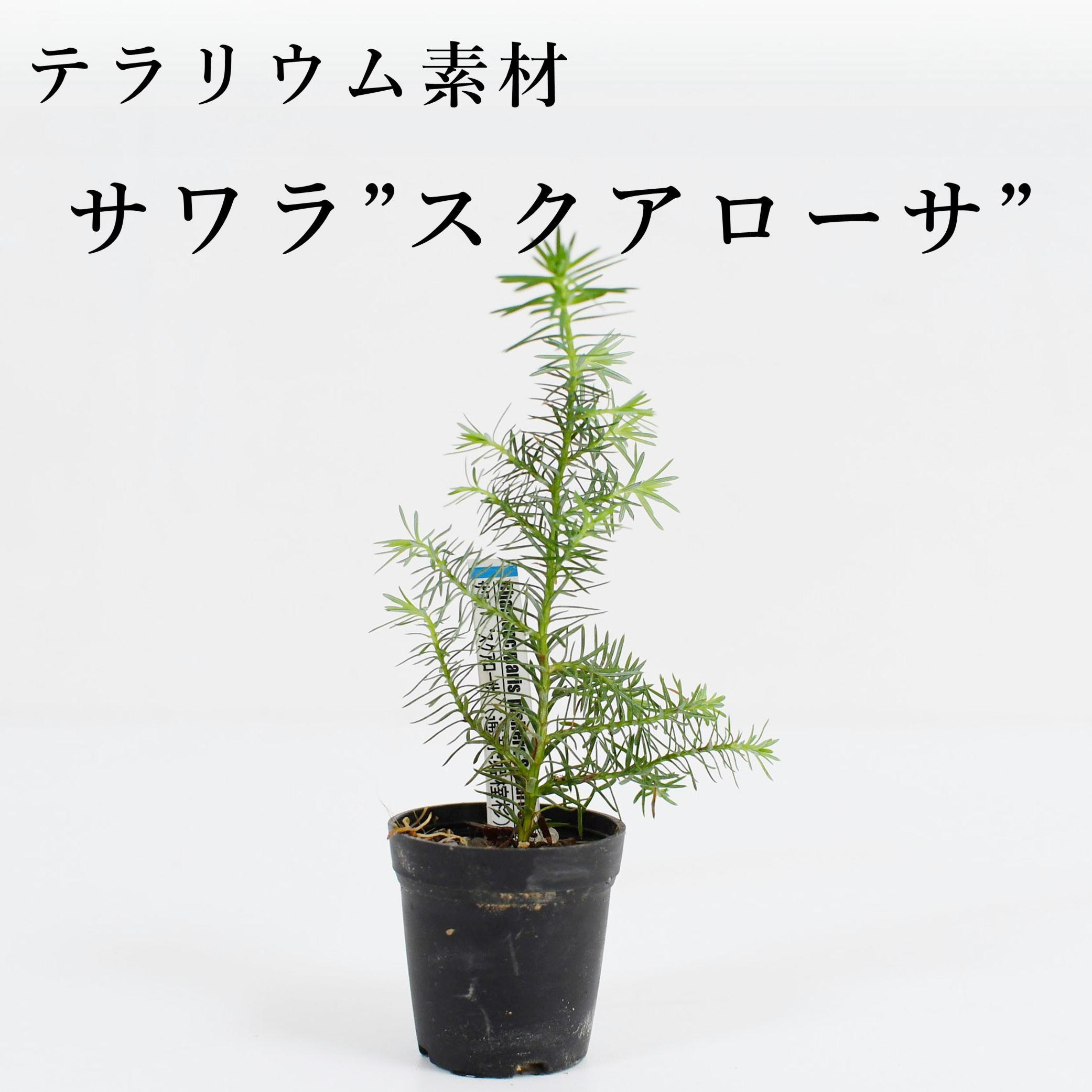 """サワラ""""スクアローサ""""(姫榁杉) 苔テラリウム作製用素材"""