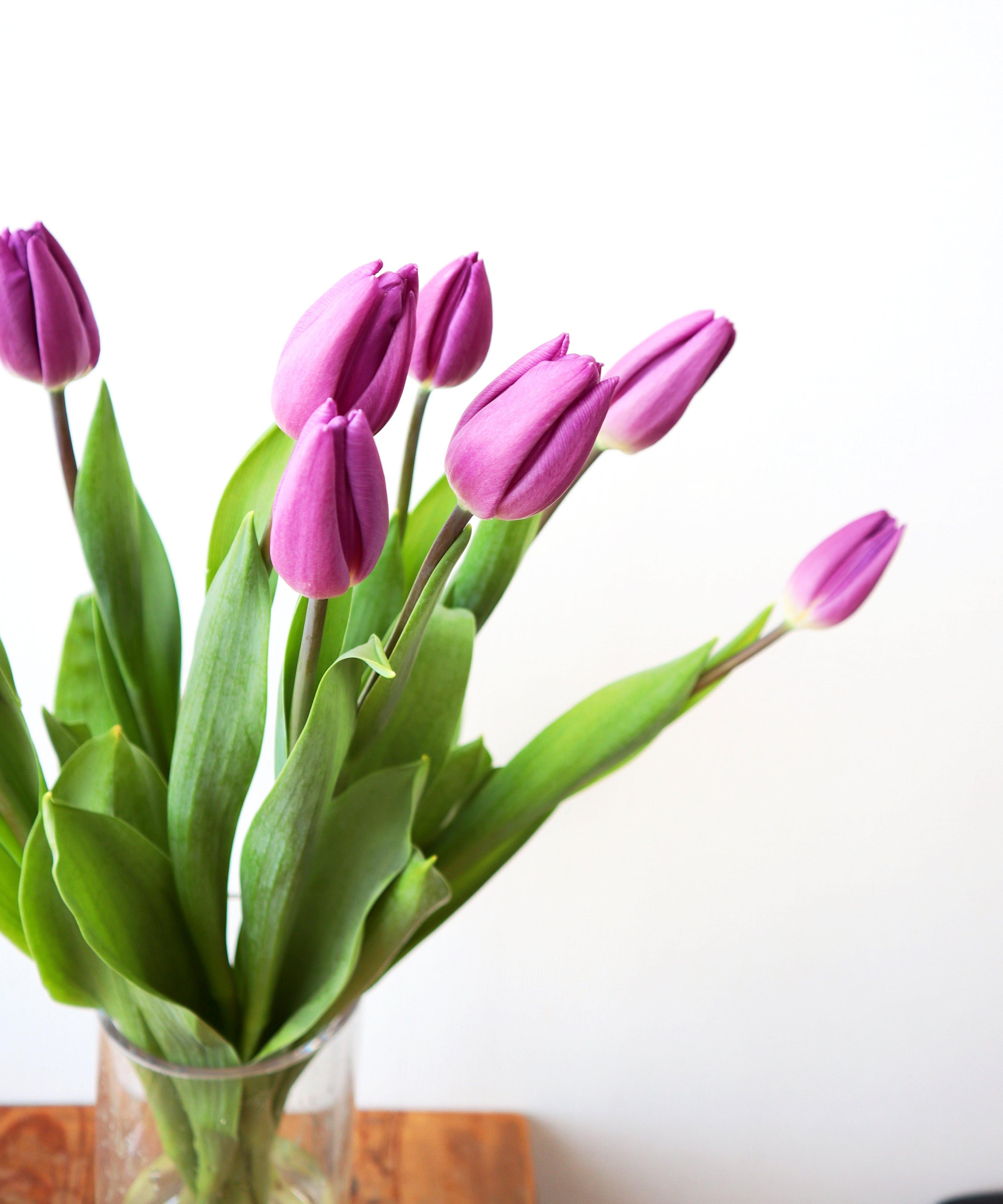 ★送料無料 !一重咲きチューリップ シックな紫『パープルフラッグ』