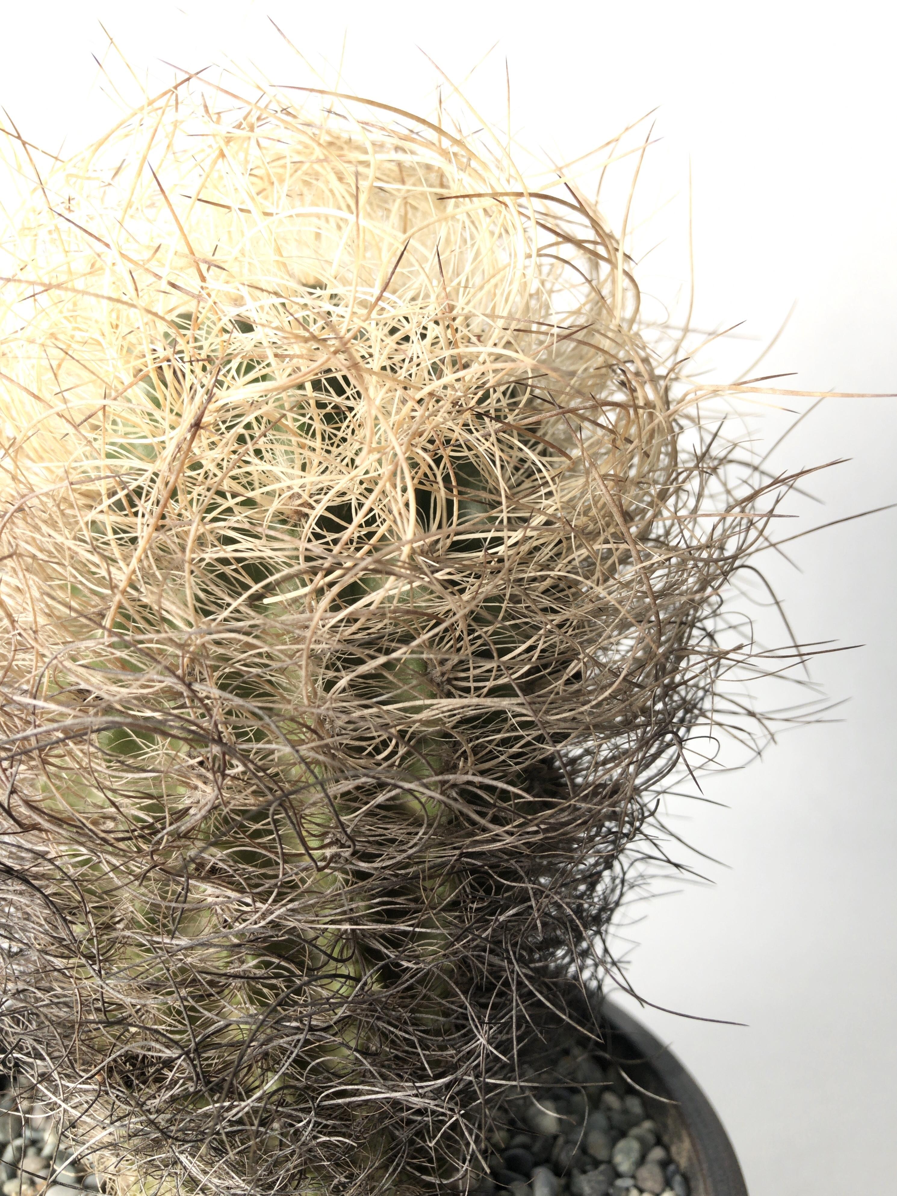 ネオポルテリア・白翁玉