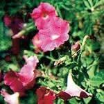ペチュニア[Petunia]#52