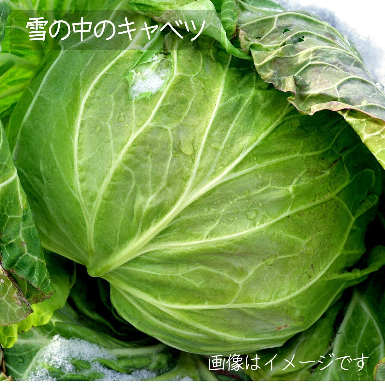 新鮮な秋野菜 : キャベツ 1個 10月の朝採り直売野菜  10月24日発送予定