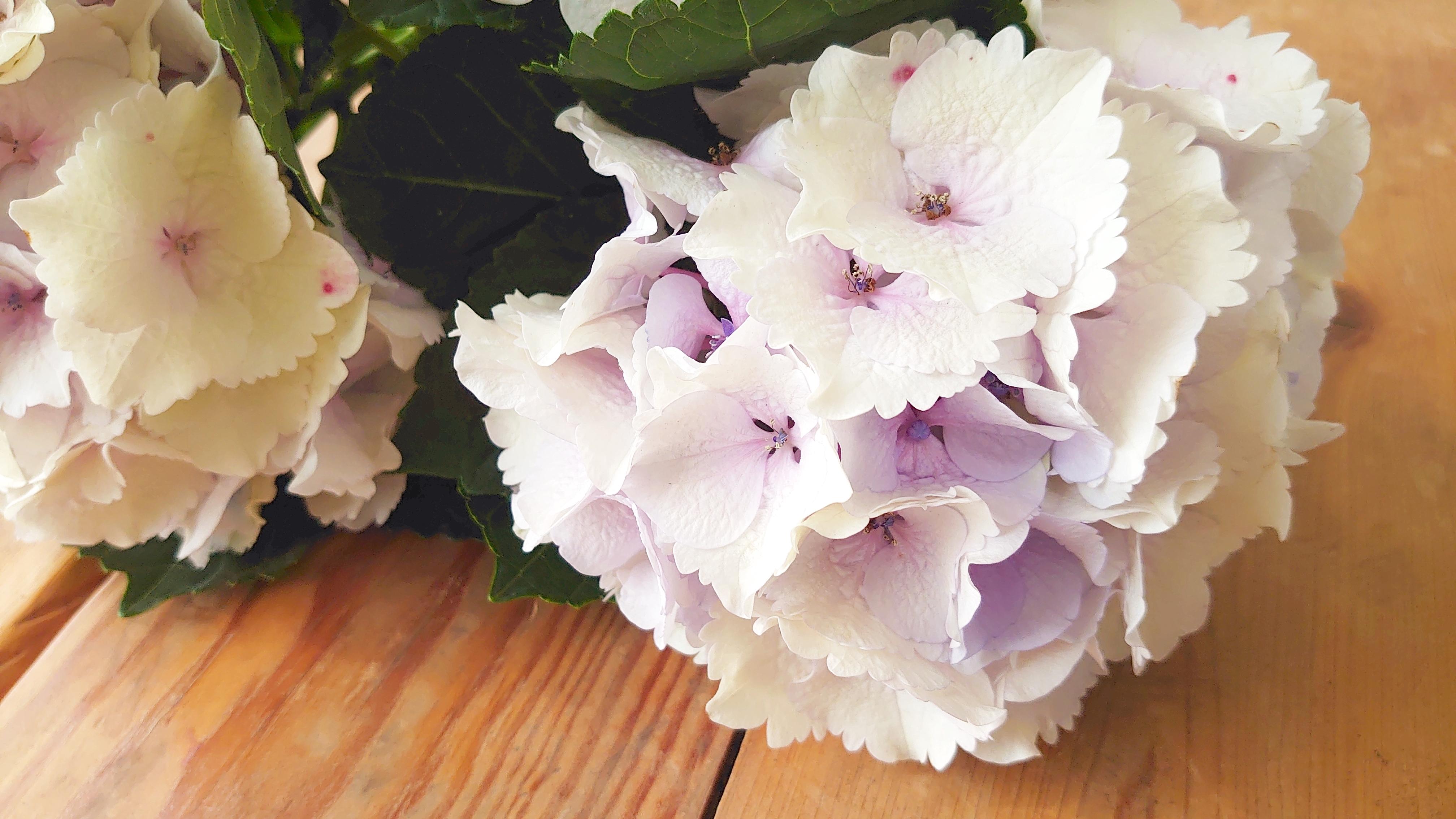 ブライダル応援!! 千葉県 青木園芸 ハイドランジア(アジサイ)エメラルドクラシックのご提案