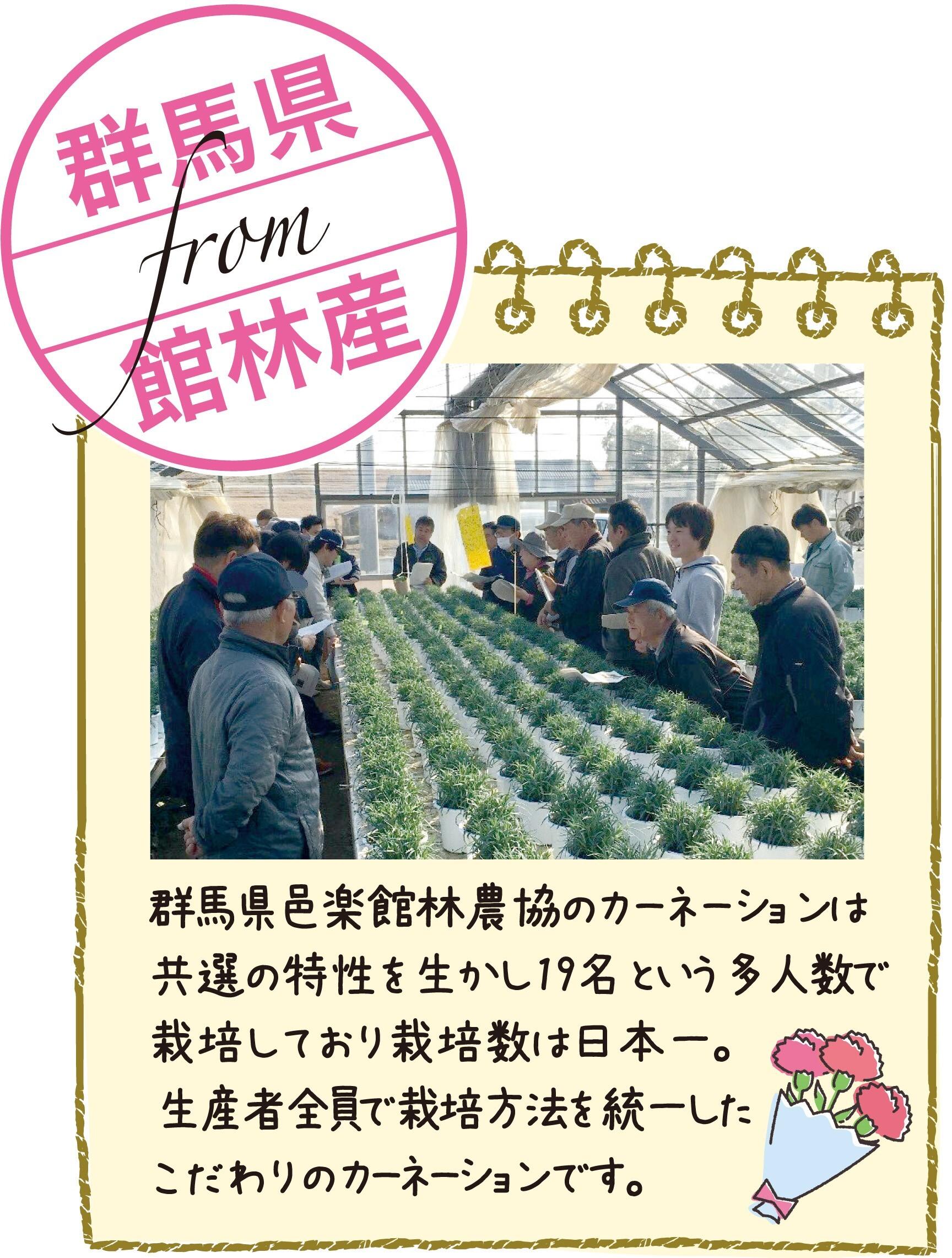 【母の月限定】カーネーション鉢植え''クレア''