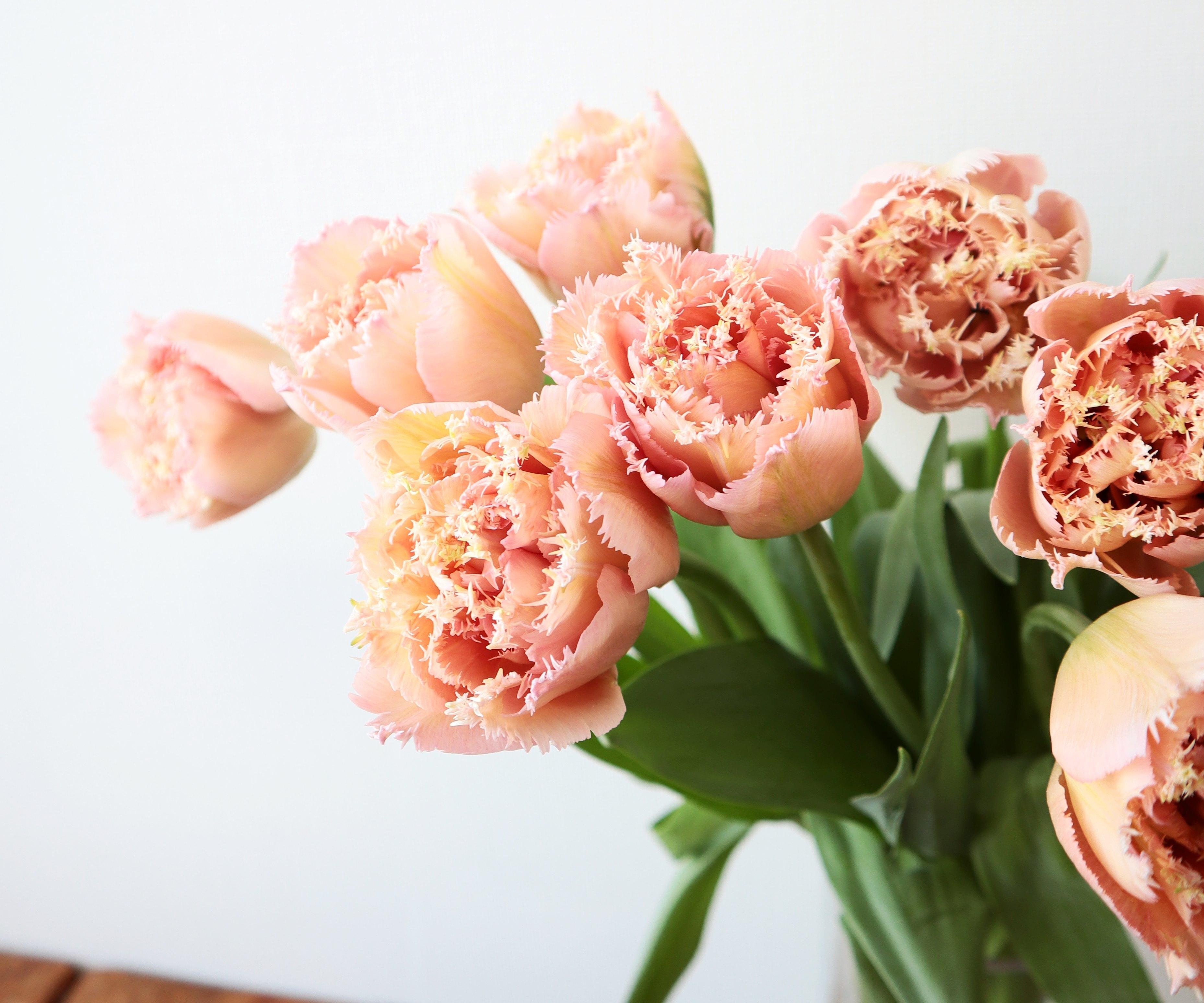★送料無料 !八重×フリンジ咲きチューリップ 『ピンクマジック』