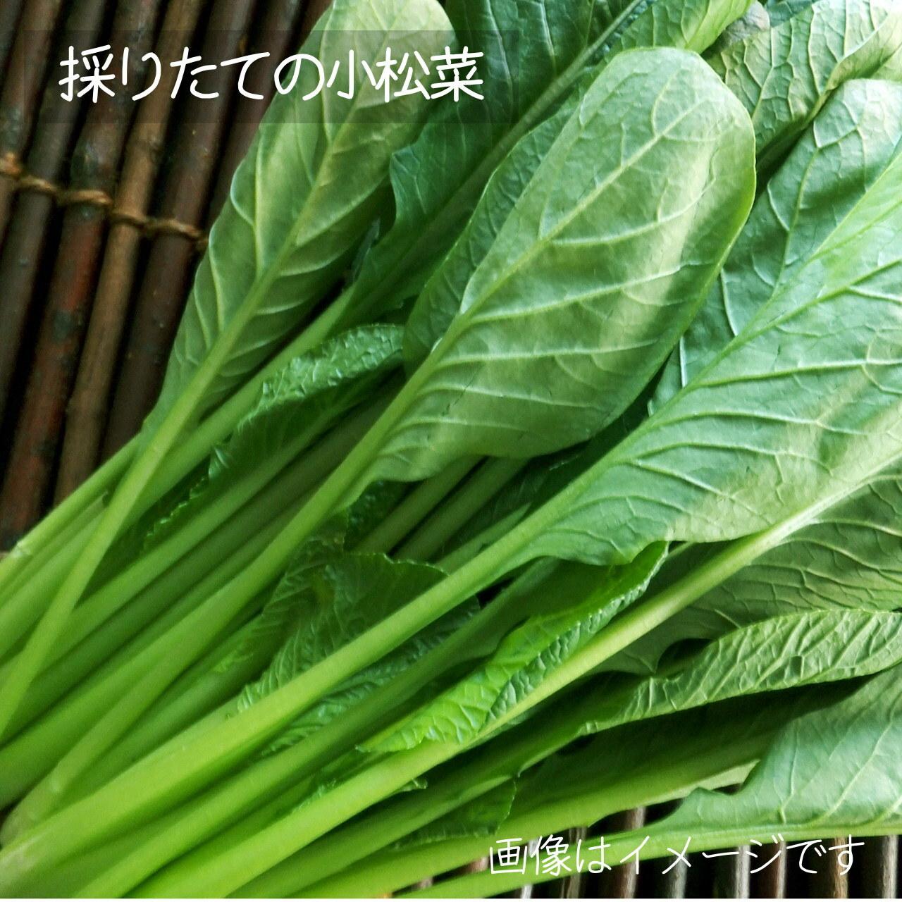 小松菜 約200g : 6月の朝採り直売野菜 春の新鮮野菜 6月13日発送予定