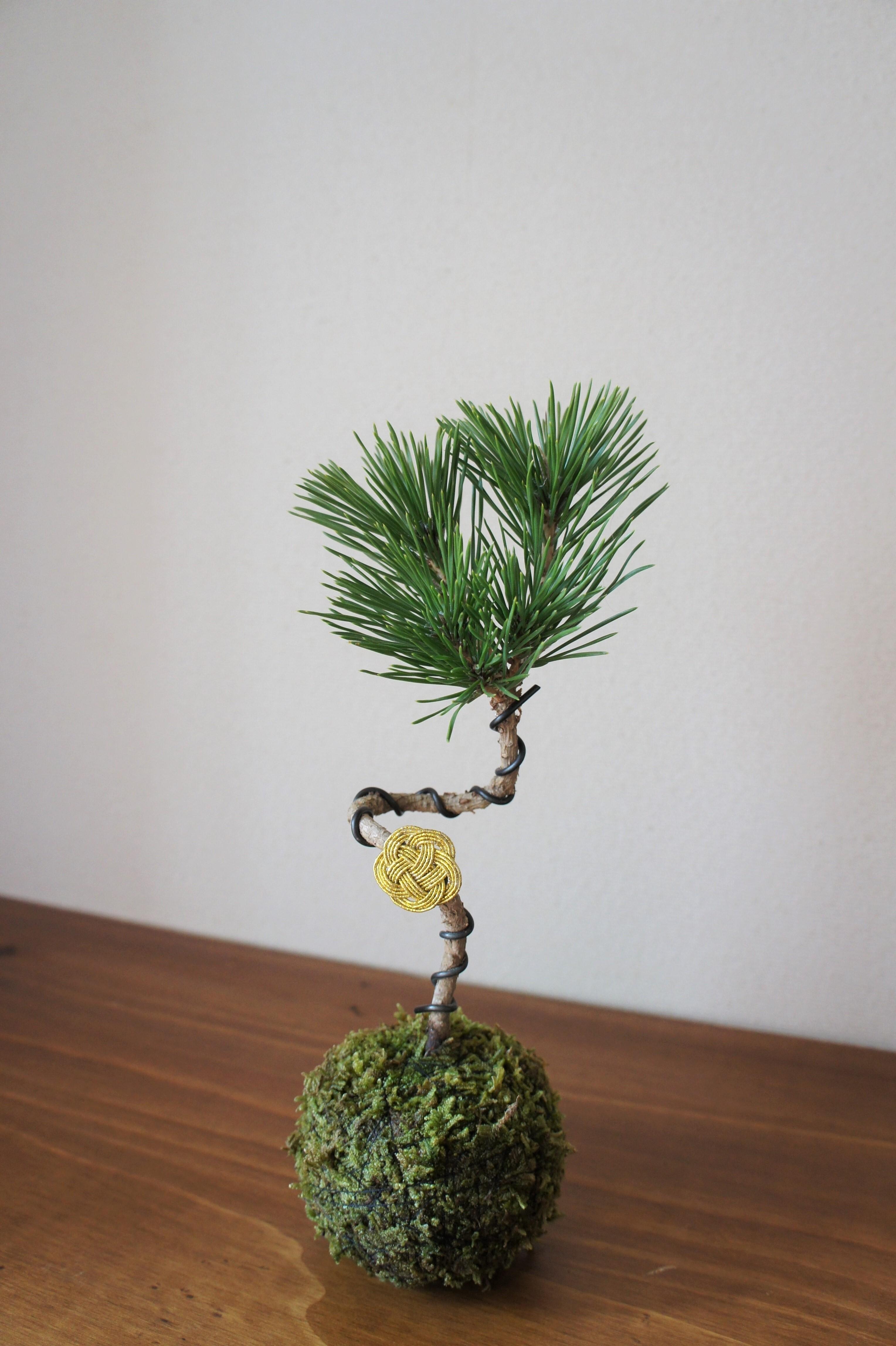 苔玉 黒松