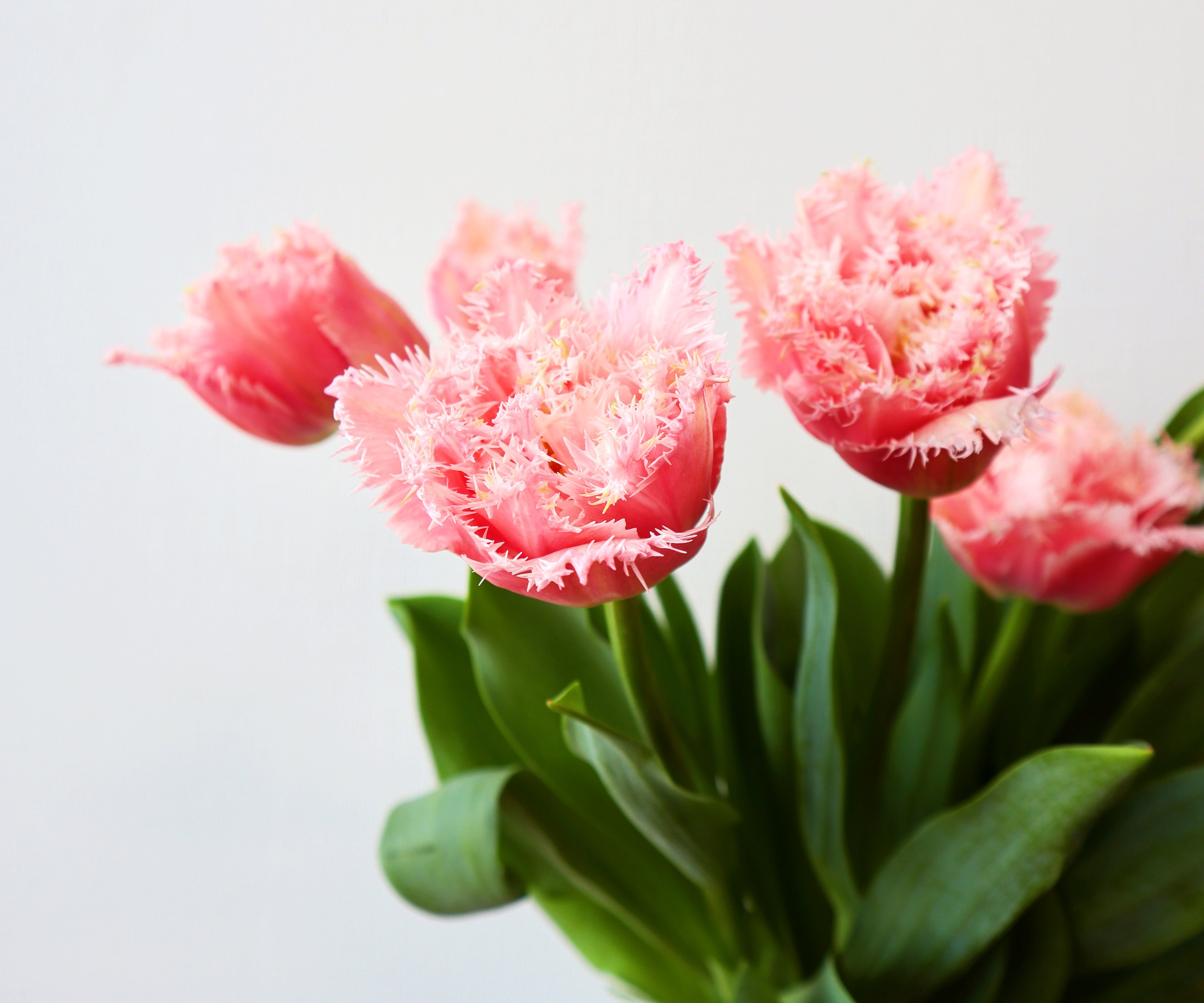 ★送料無料 !八重×フリンジ咲きチューリップ 『クイーンズランド』