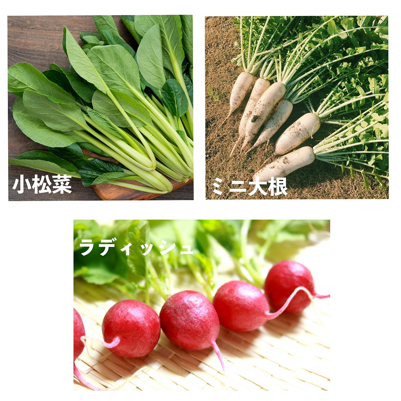 【お得!】セットプラン①(ラディッシュ・小松菜・ミニ大根)