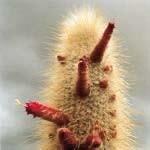 オーラクレンジングカクタス[Aura Cleansing Cactus]
