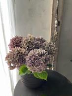 紫陽花 パープルスレンダー(パープル、ブルートーン) A