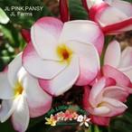 JL Pink Pansy