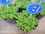 多肉コレクション 松姫 まつひめ(セダム属)2.5号 多肉植物