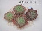 【新品種】スタンズ 韓国苗 多肉植物