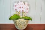胡蝶蘭 PINK 陶器鉢