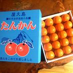 屋久島たんかん  「秀」上等品3kg【屋久島から直送】