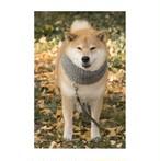 柴犬まる;ポストカード;秋のマフラーまる