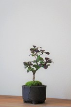 盆栽 紅メギ