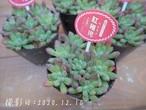 多肉コレクション 紅稚児 べにちご(エケベリア属)2.5号 多肉植物