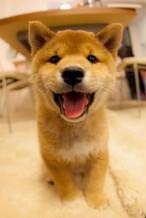 柴犬まる;ポストカード;赤ちゃんまる