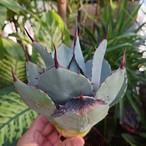 アガベ パリー トランカータ agave parryi truncata 4