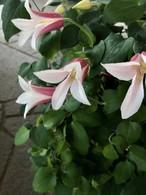 新種クレマチス「エールフクシマ」6号鉢    かご付き