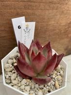 多肉植物 韓国苗 ロビン × ワイルドコロラータ☆No.6