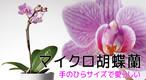 マイクロ胡蝶蘭 1本立