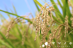 令和元年度産 こしいぶき  玄米20kg