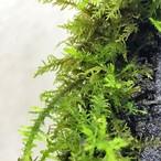 【高原の苔】 シノブゴケ 使い易いミニパック!