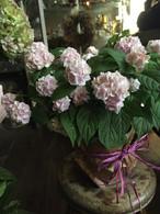 母の日*紫陽花鉢「伊予獅子手毬」4800円送料込み