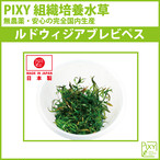 PIXY組織培養水草 ルドウィジアブレピベス