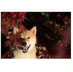柴犬まる;ポストカード;紅葉まる