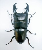 スマトラオオヒラタ 【ハーキュリー血統】(TD/D×MT)幼虫 1100cc菌糸ボトル入