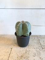 サボテン ランポー玉 ※5号鉢サイズ