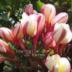 Peachglow Shell