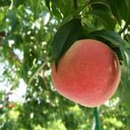 【9月の桃】 伊達白桃「人と自然がよろこぶ完熟桃」(2kg×6〜8玉)
