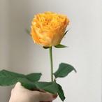 One Flower 一輪のよいはな バラ (JAひまわり バラ部会)