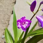 濃色紫蘭三舌花10.5cmポット苗