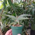 【送料無料】Sansevieria sp. 'Johannesburg' ロリダ Lav.23395 サンスベリア ヨハネスブルク