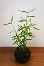 苔玉 斑入り姫竹