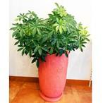 観葉植物 シェフレラ コンパクタ  クイーン 7号 ピンク 陶器鉢入 送料無料