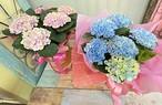 C0559) 母の日あじさいの花鉢 [母の日]