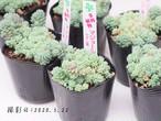 多肉植物 マジョール(セダム属)いとうぐりーん 産直苗 2号