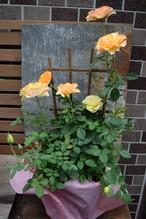【期間限定送料無料】バラ鉢物(7月19日~7月23日発送)発送農家直・送料込