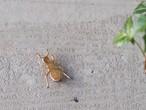 【jouer】蟻ブローチ(387)
