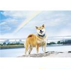 柴犬まる;ポストカード;雨上がりの虹色まる
