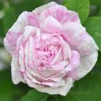 ロサ ケンティフォリア ヴァリエガタ Rosa centifolia Variegata