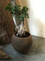 ガジュマルの木 鉢付き